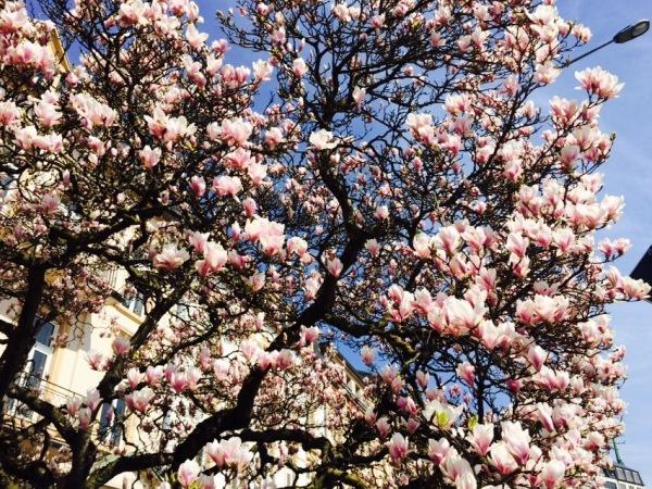 Upeassa kukassa oleva magnolia Luxemburgin keskustassa.