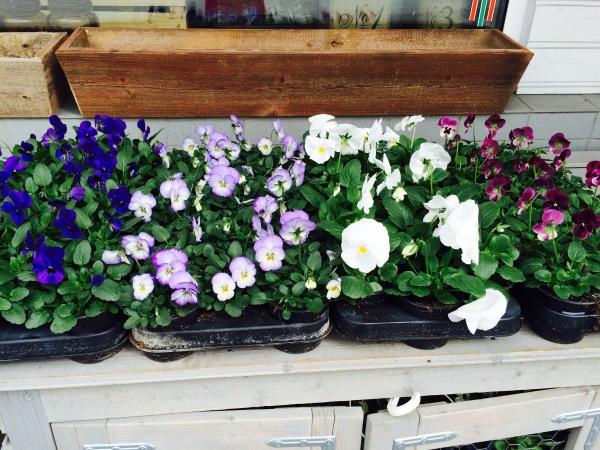 Kukkia oli maassa vain vähän, nämä odottivat kukkakaupan edustajalla ostajaansa.